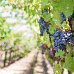 vineyard: dark grapes on the vine