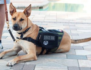 Early Times Whiskey: a dog wearing a service dog vest